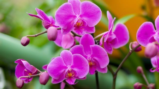 Cuidando de suas orquídeas (1)